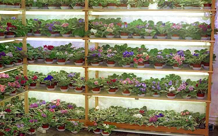Как вырастить фиалки из семян в домашних условиях