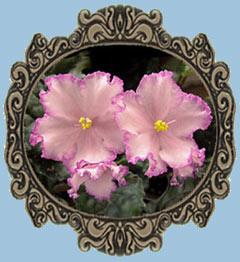 Почему не цветут фиалки что делать чтобы фиалка цвела